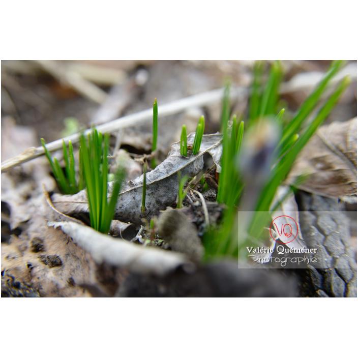 Pousse de feuilles de crocus à travers les feuilles mortes - Réf : VQF&J-13030 (Q3)