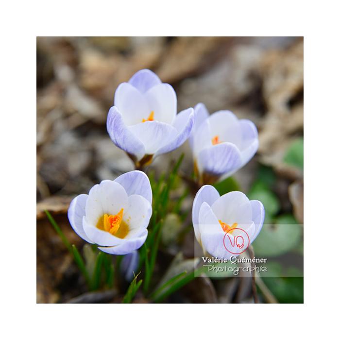 Groupe de quatre petites fleurs de crocus bleu - Réf : VQF&J-13031 (Q3)