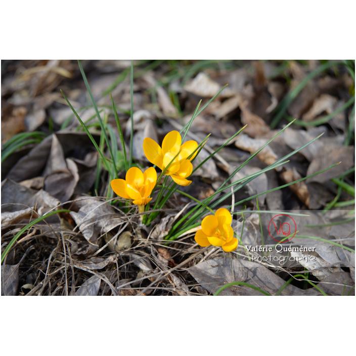 Pousse parmi les feuilles mortes de petites fleurs de crocus jaune - Réf : VQF&J-13032 (Q3)