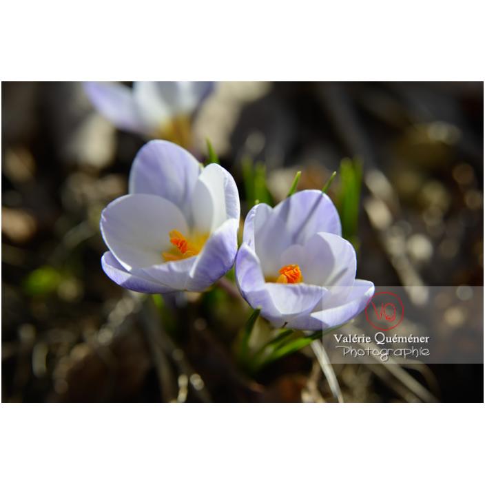 Détail de deux petites fleurs de crocus bleu - Réf : VQF&J-13035 (Q3)