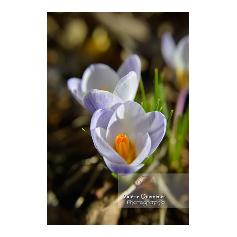 Détail de petites fleurs de crocus bleu - Réf : VQF&J-13037 (Q3)