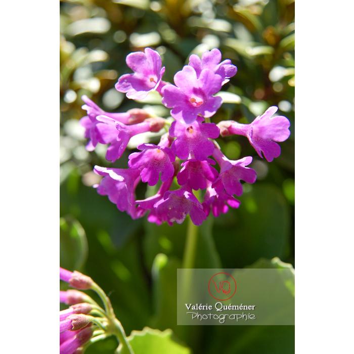 Fleur de primevère - Réf : VQF&J-1304 (Q1)