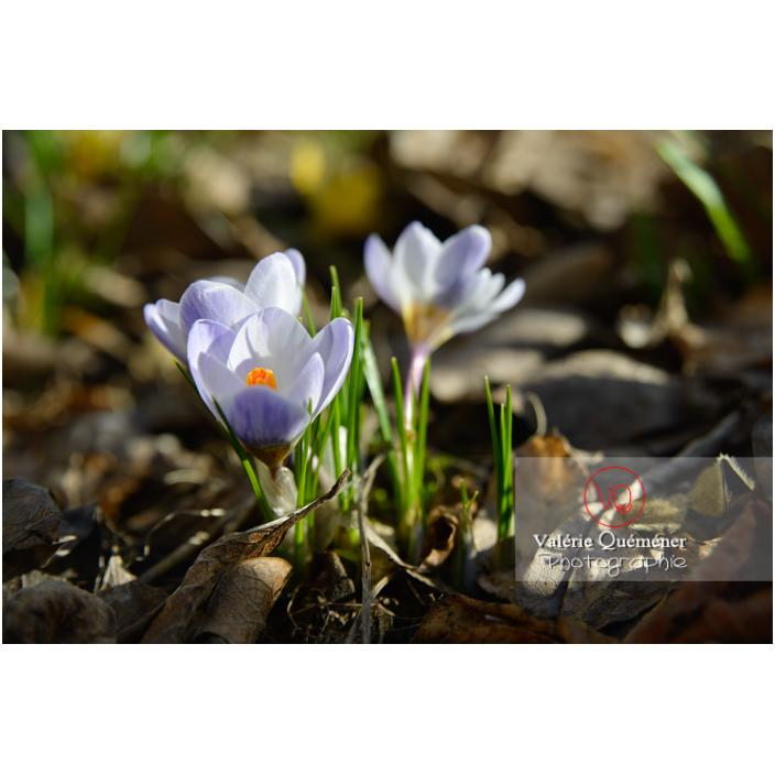 Petites fleurs de crocus bleu - Réf : VQF&J-13041 (Q3)