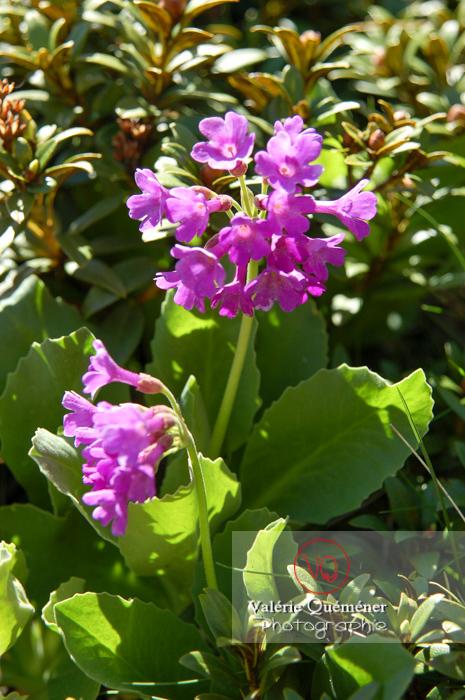 Fleur de primevère à large feuilles dans les Pyrénées - Réf : VQF&J-1305 (Q1)