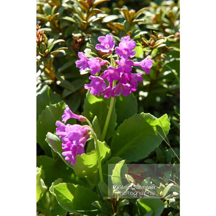Fleur de primevère - Réf : VQF&J-1305 (Q1)