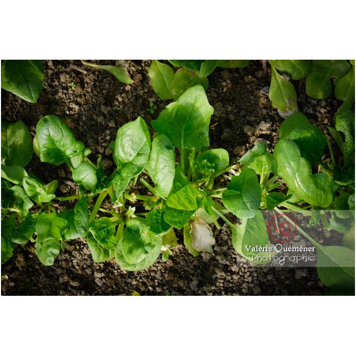 Epinard (spinacia oleracea) - Réf : VQF&J-13137 (Q3)