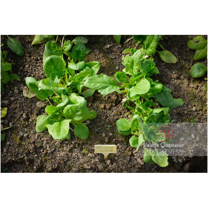 Epinard (spinacia oleracea) - Réf : VQF&J-13138 (Q3)