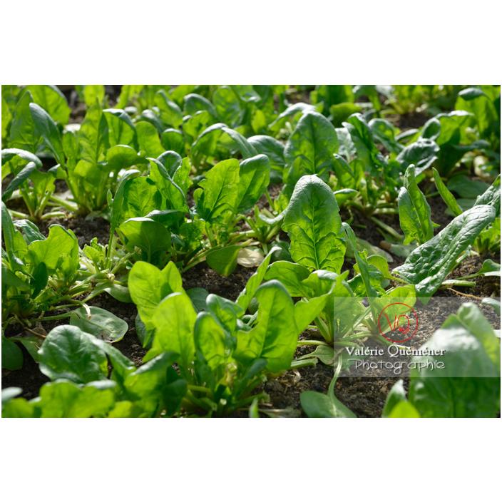 Epinard (spinacia oleracea) - Réf : VQF&J-13143 (Q3)