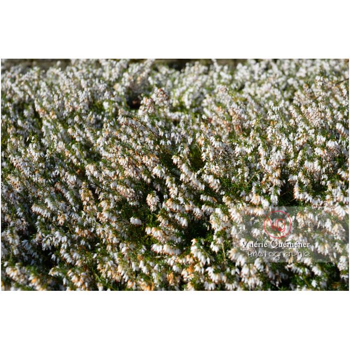 Bruyère des neiges blanche (erica carnea alba) - Réf : VQF&J-13149 (Q3)