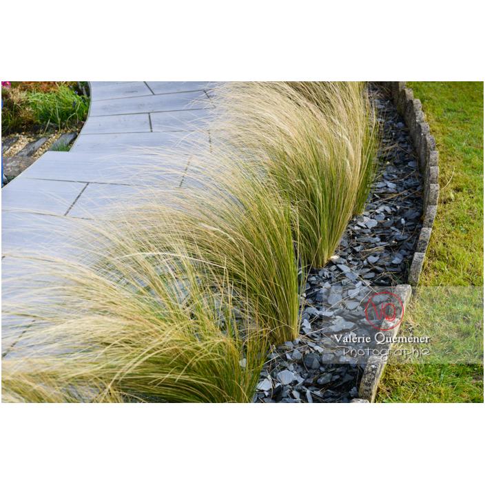 Cheveux d'ange (stipa tenuissima) - Réf : VQF&J-13157 (Q3)
