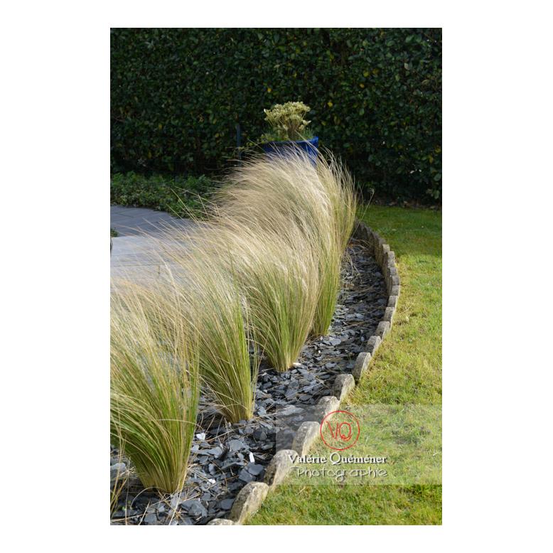 Cheveux d'ange (stipa tenuissima) - Réf : VQF&J-13158 (Q3)