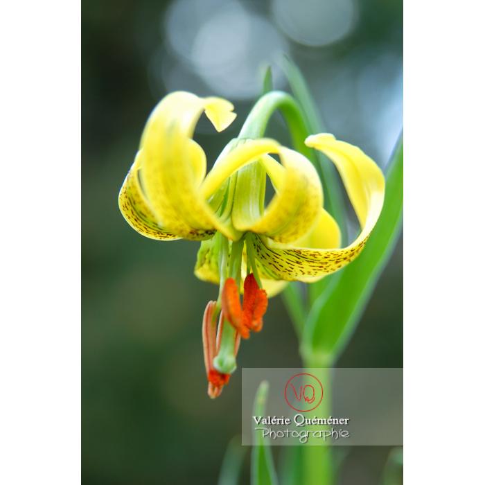 Fleur de lys des Pyrénées - Réf : VQF&J-1316 (Q1)