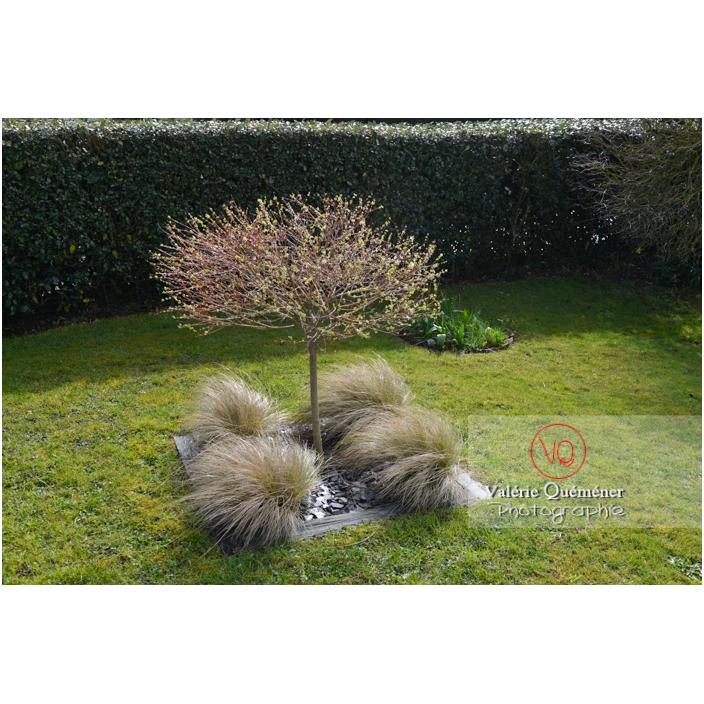Aménagement en carré de cheveux d'ange (stipa tenuissima) au pied d'un saule crevette (salix integra)- Réf : VQF&J-13161 (Q3)