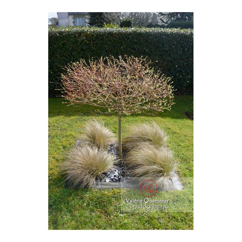 Aménagement en carré de cheveux d'ange (stipa tenuissima) au pied d'un saule crevette (salix integra)- Réf : VQF&J-13162 (Q3)