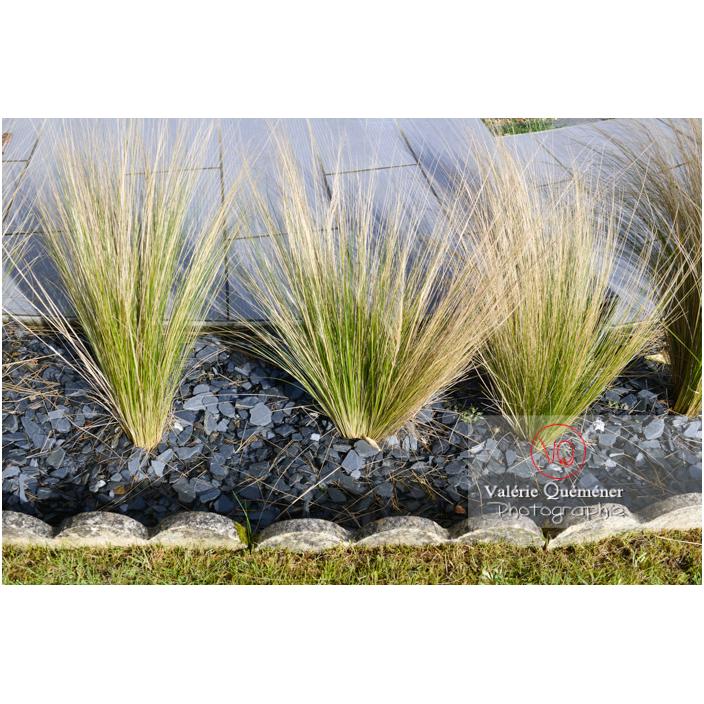 Cheveux d'ange (stipa tenuissima) - Réf : VQF&J-13163 (Q3)