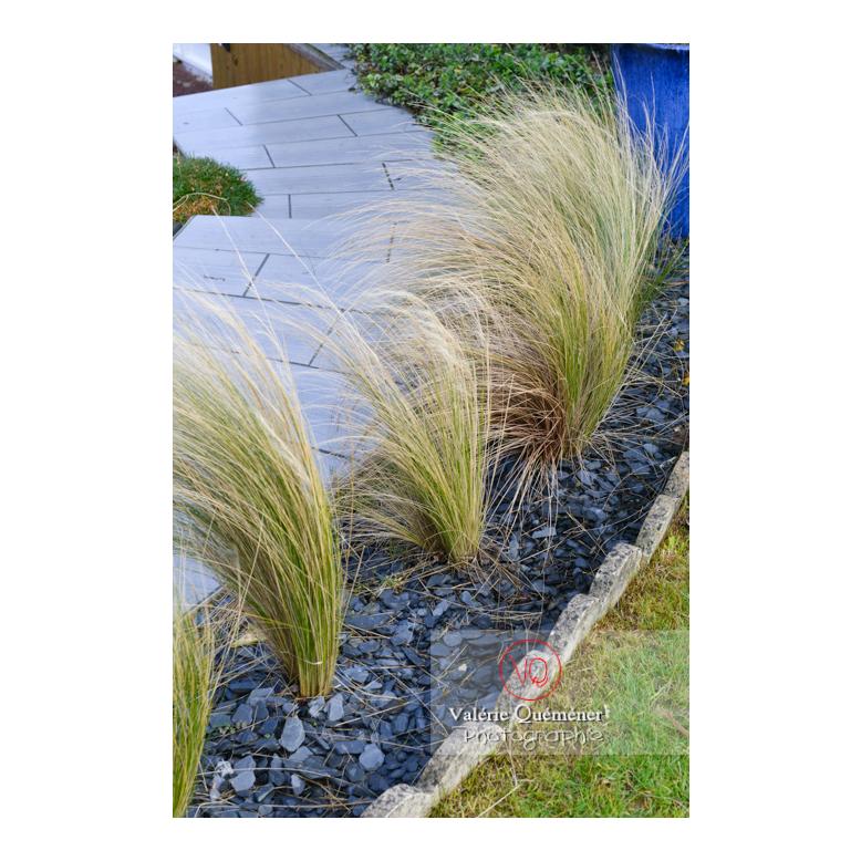 Cheveux d'ange (stipa tenuissima) - Réf : VQF&J-13165 (Q3)