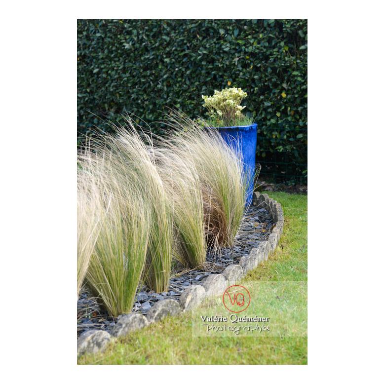 Cheveux d'ange (stipa tenuissima) - Réf : VQF&J-13166 (Q3)