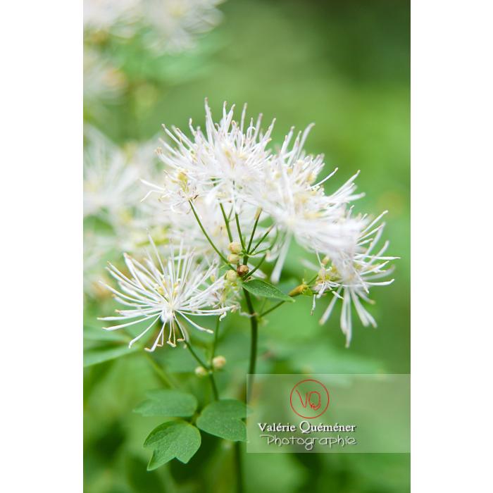 Fleur de pigamon - Réf : VQF&J-1320 (Q1)