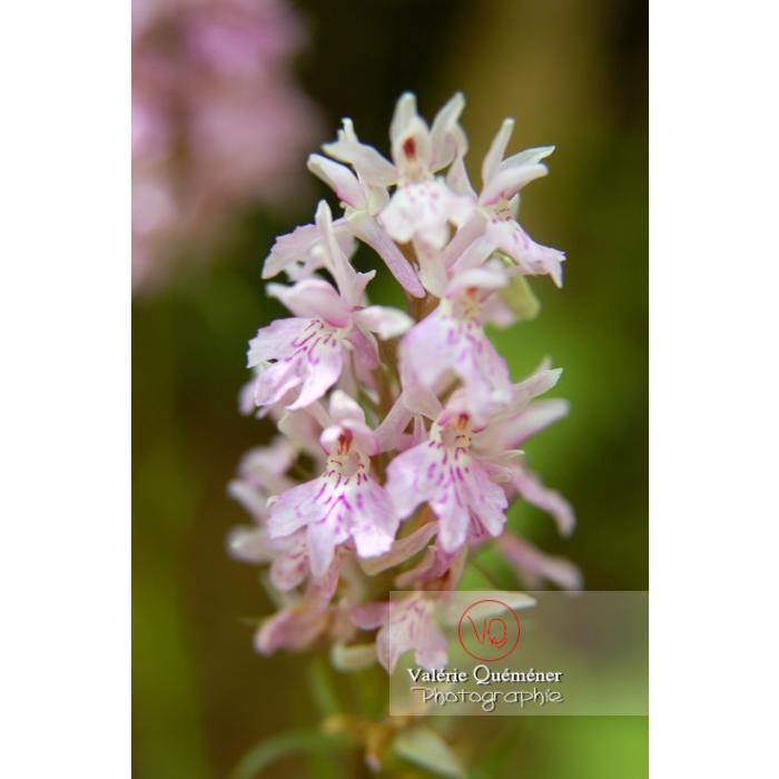 Fleur d'orchis - Réf : VQF&J-1331 (Q1)
