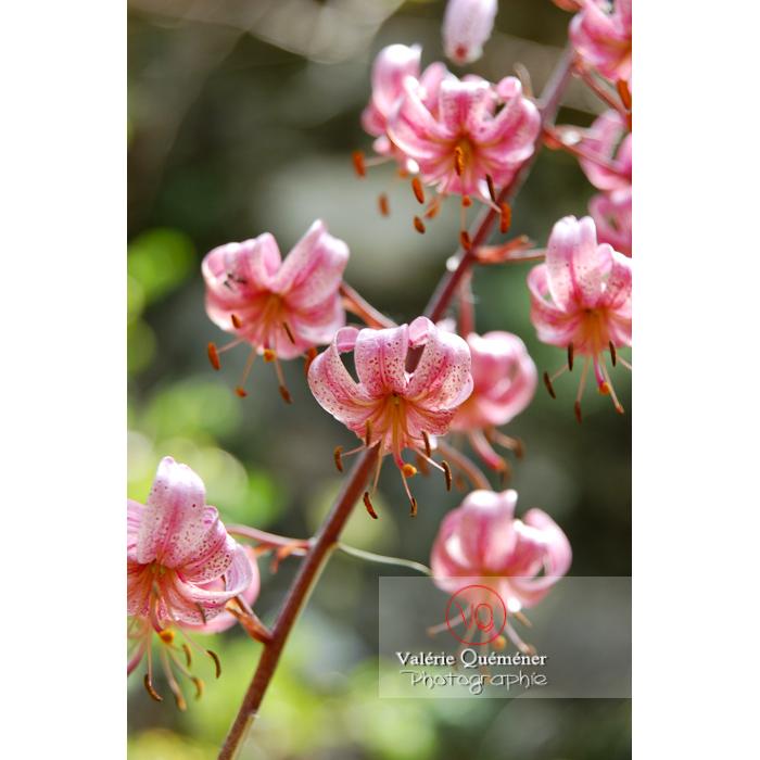 Grappe de fleurs de lys de Martagon - Réf : VQF&J-1343 (Q1)