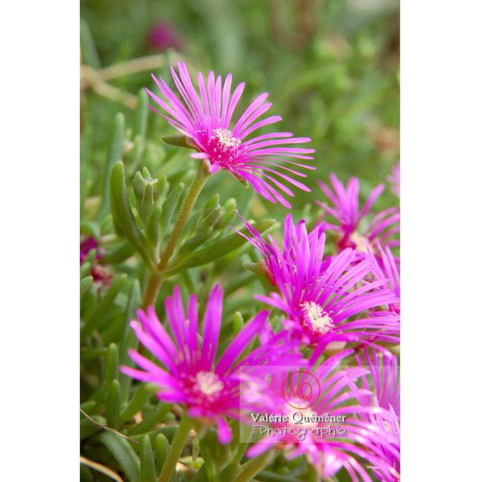 Fleurs de ficoïde - Réf : VQF&J-1360 (Q1)