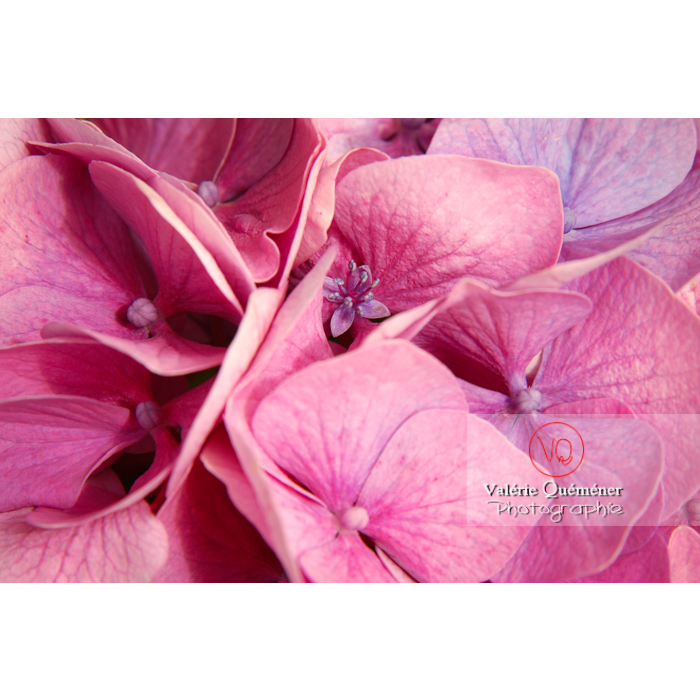 Fleurs d'hortensia rose - Réf : VQF&J-1390 (Q1)