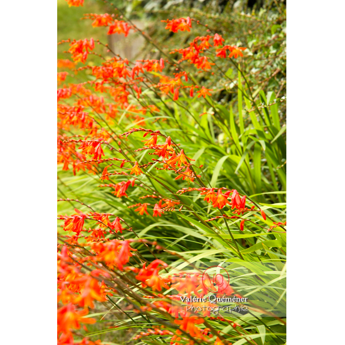 Fleurs de crocosmia - Réf : VQF&J-1444 (Q1)