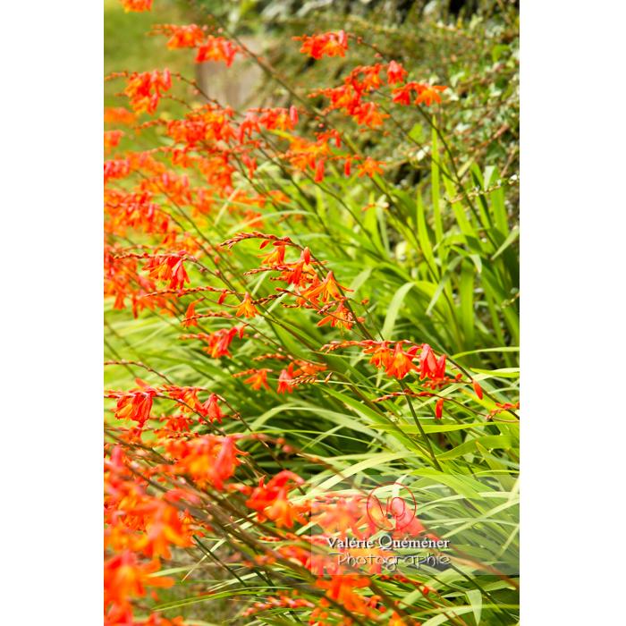 Massif de fleurs de crocosmia - Réf : VQF&J-1444 (Q1)
