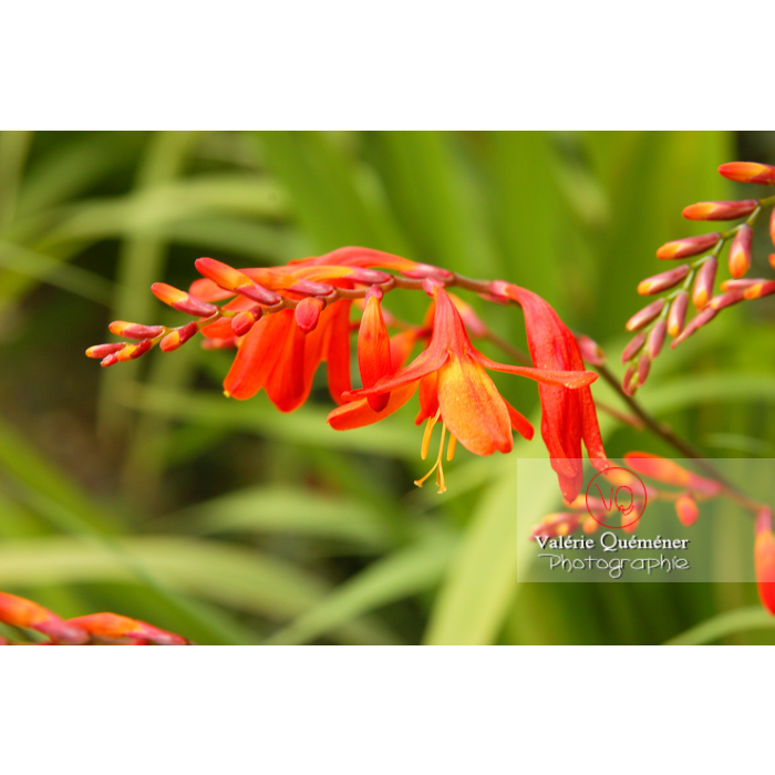 Fleurs de crocosmia - Réf : VQF&J-1445 (Q1)