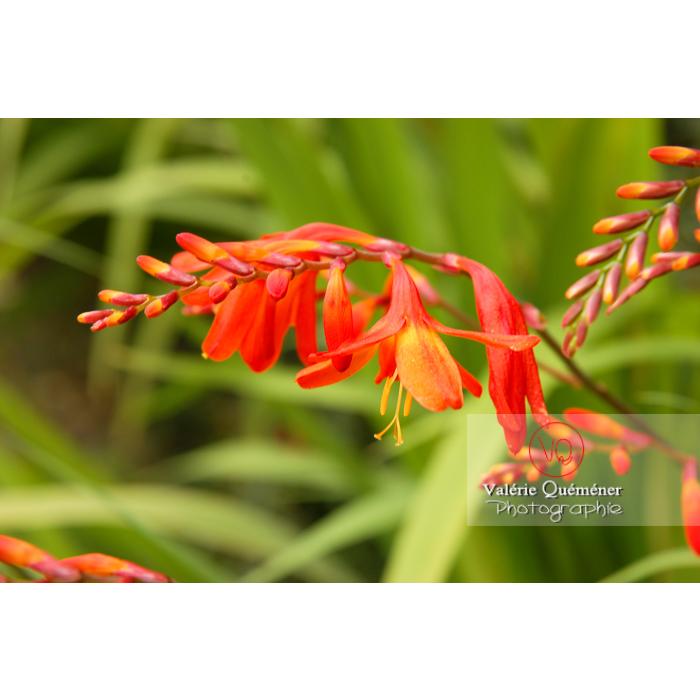 Fleur de crocosmia - Réf : VQF&J-1445 (Q1)