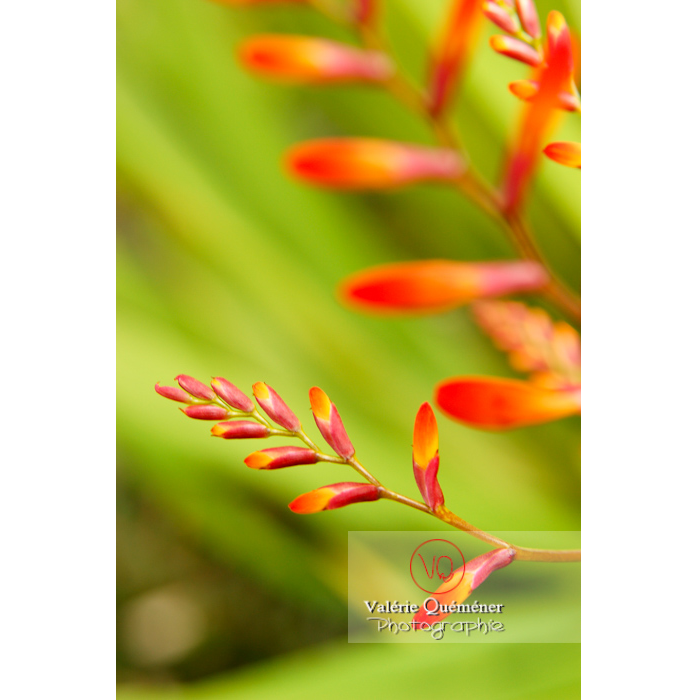 Fleur de crocosmia en bouton - Réf : VQF&J-1452 (Q1)