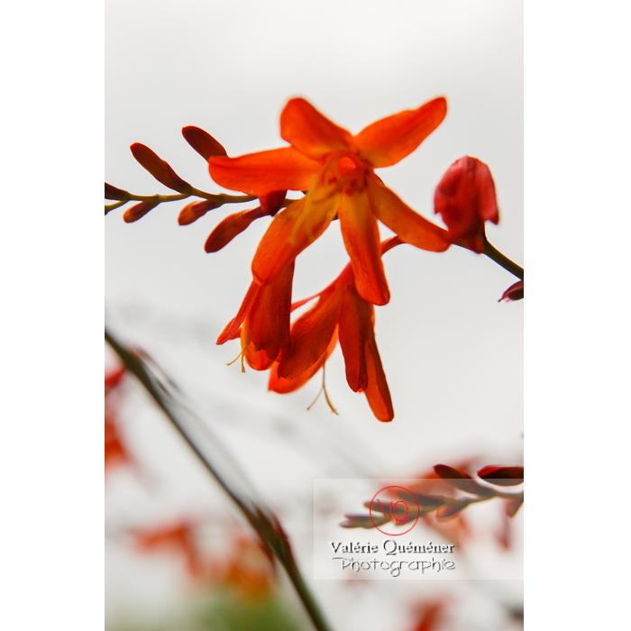 Fleur de crocosmia - Réf : VQF&J-1454 (Q1)