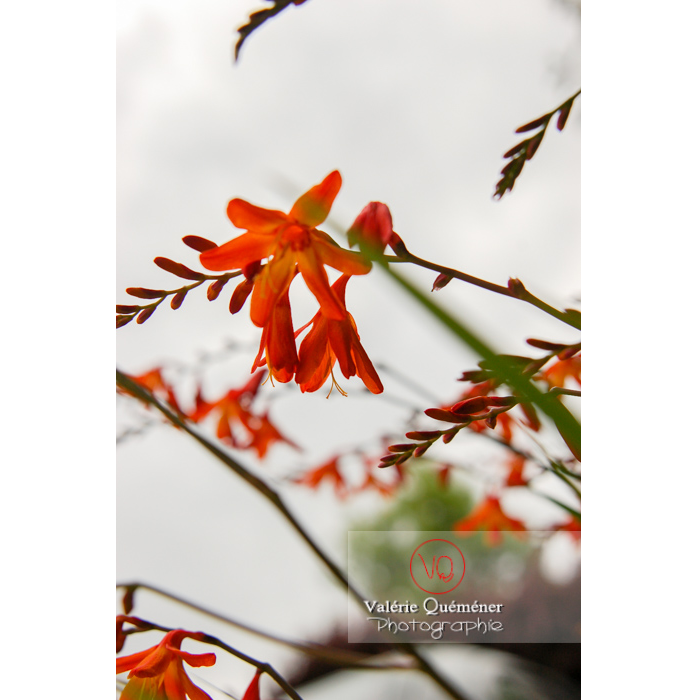 Fleur de crocosmia - Réf : VQF&J-1455 (Q1)
