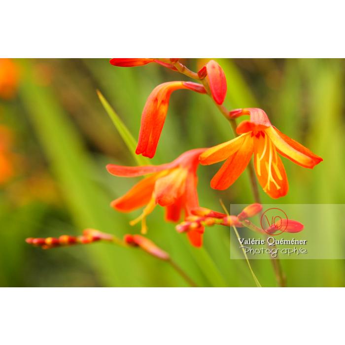 Fleurs de crocosmia - Réf : VQF&J-1458 (Q1)