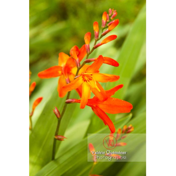 Fleur de crocosmia - Réf : VQF&J-1476 (Q1)