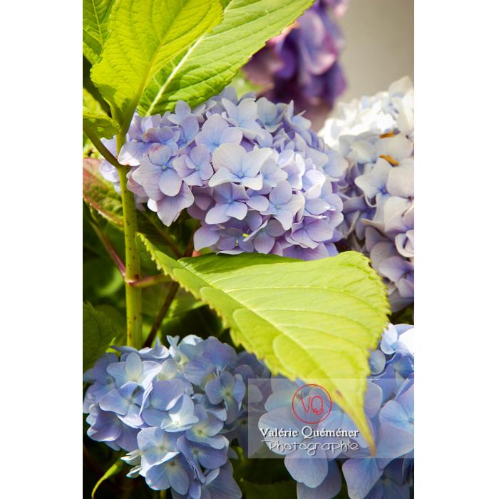 Fleurs d'hortensia bleu pâle - Réf : VQF&J-1477 (Q1)