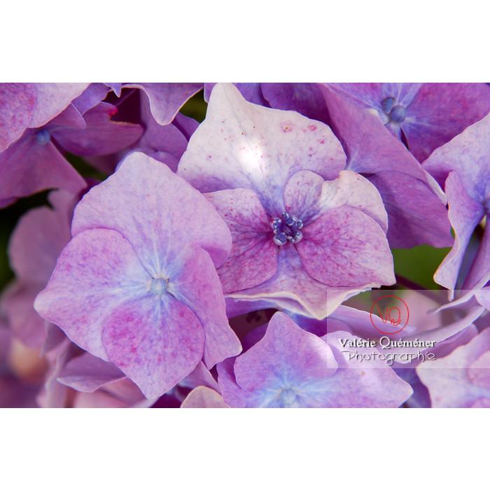 Fleurs d'hortensia violet - Réf : VQF&J-1480 (Q1)