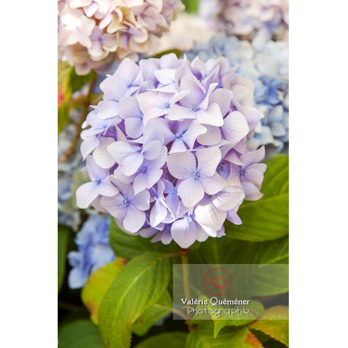 Bouquet de fleurs d'hortensia bleu pâle - Réf : VQF&J-1481 (Q1)