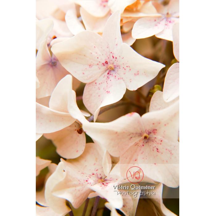 Fleurs d'hortensia blanc - Réf : VQF&J-1485 (Q1)