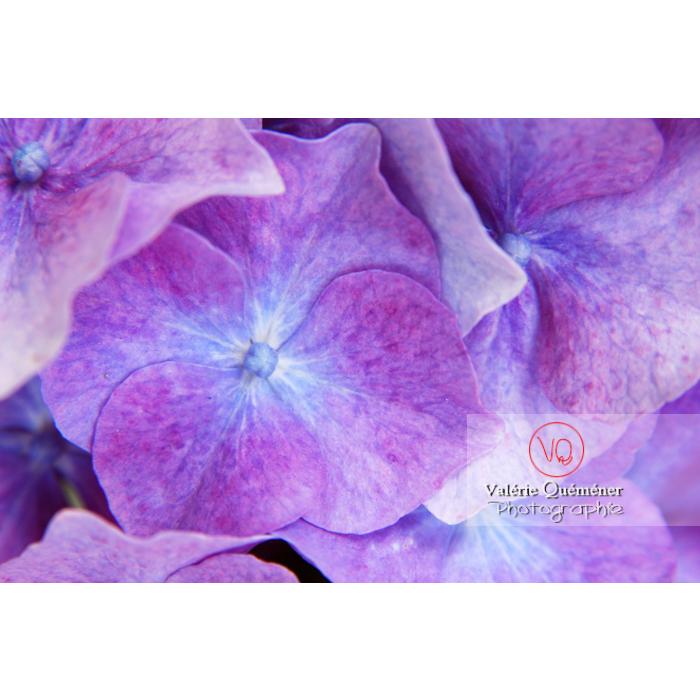 Fleurs d'hortensia mauve - Réf : VQF&J-1488 (Q1)