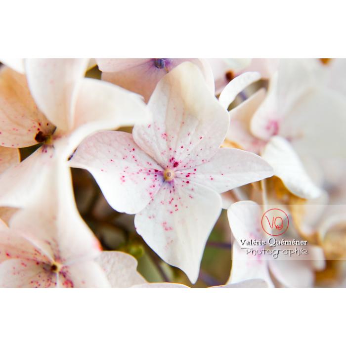 Fleurs d'hortensia blanc - Réf : VQF&J-1489 (Q1)