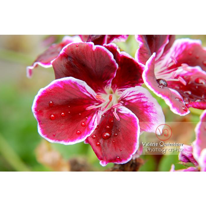 Détail goutte de pluie sur les pétales d'une fleur de pelargonium - Réf : VQF&J-1509 (Q1)