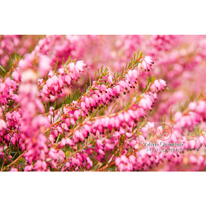 Fleurs de bruyère - Réf : VQF&J-1966 (Q1)