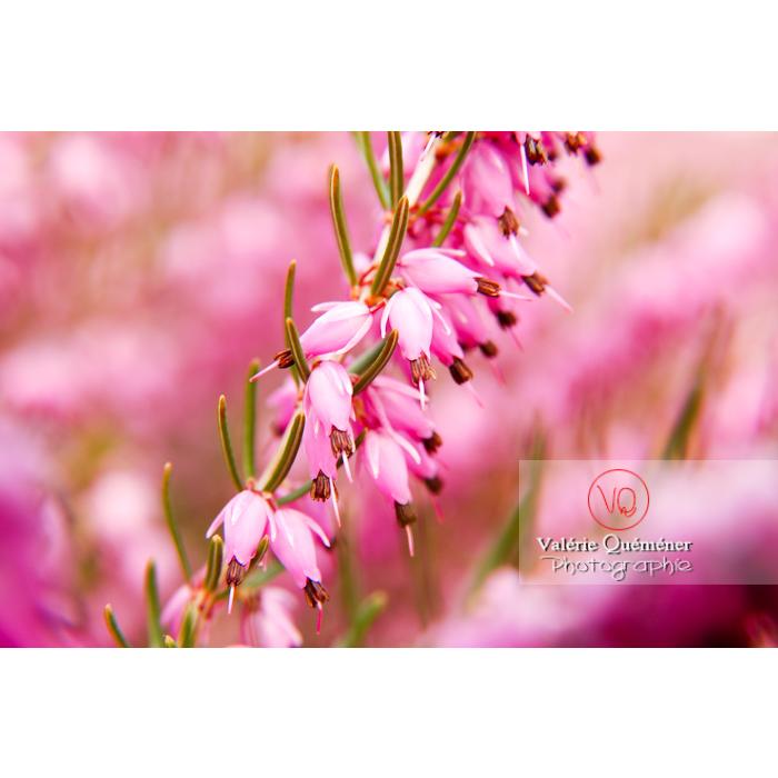 Fleurs de bruyère - Réf : VQF&J-1968 (Q1)