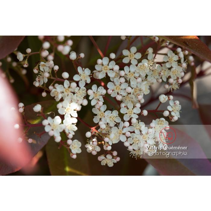 Photinie en fleur (photinia sp) - Réf : VQF&J-2141 (Q1)