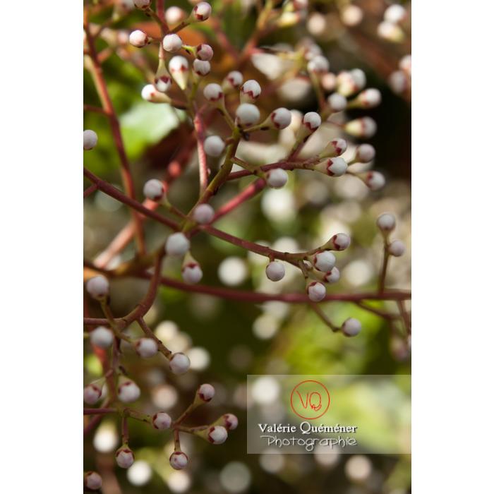 Photinie en bouton (photinia sp) - Réf : VQF&J-2142 (Q1)