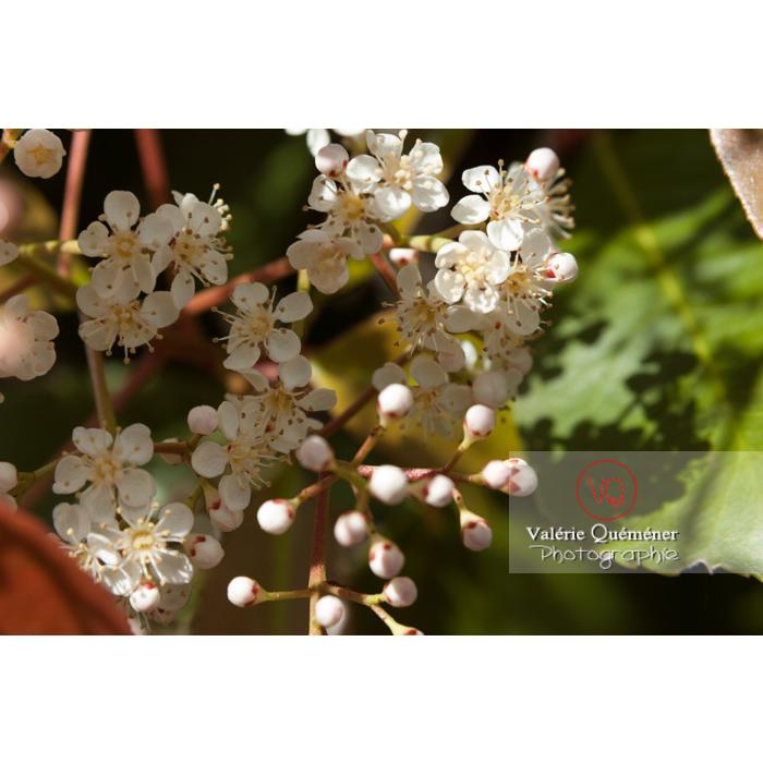 Photinie en bouton (photinia sp) - Réf : VQF&J-2143 (Q1)