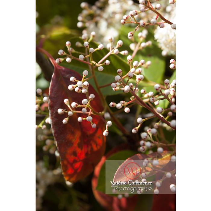 Photinie en bouton (photinia sp) - Réf : VQF&J-2144 (Q1)