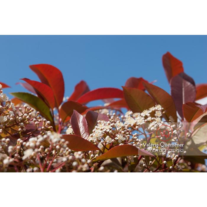 Photinie en fleur (photinia sp) - Réf : VQF&J-2145 (Q1)
