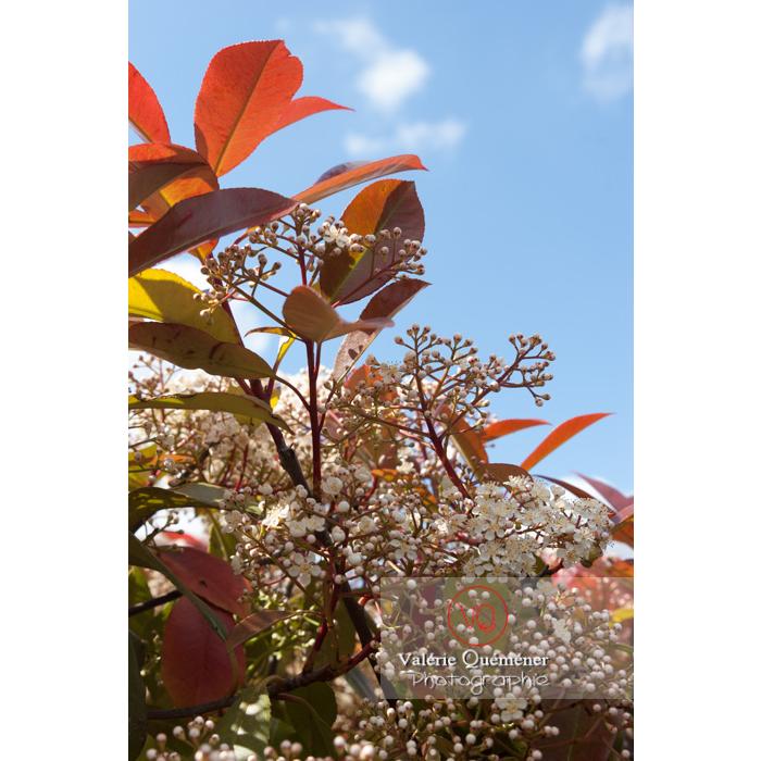 Photinie en fleur (photinia sp) - Réf : VQF&J-2147 (Q1)